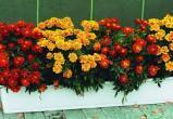 В Череповце распустятся тысячи цветов